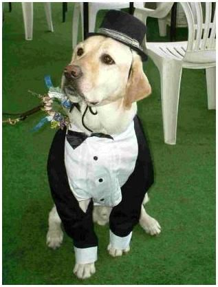 Adorable yellow lab serves as ring bearer at an outdoor wedding