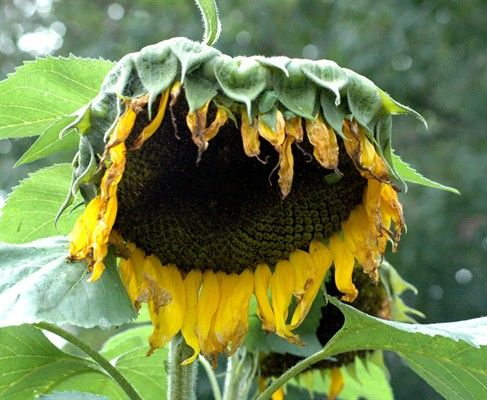 This poor sunflower has seen much better days.